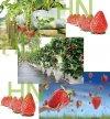 truskawki słodkie