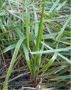 Hierochloe odorata, aromatyczna trawa do wódki