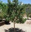 Odmiany mini drzewek owocowych