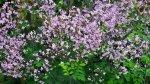 Rutewka- kwiaty jak mgiełka !