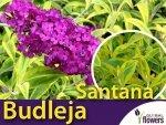 Budleja davidii 'Santana' (Buddleja davidii) Sadzonka