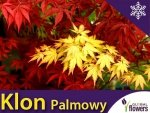 Klon Palmowy 'Orange Dream' (Acer palmatum) Sadzonka w P9