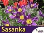Sasanka zwyczajna Fioletowa (Pulsatilla vulgaris) CEBULKA