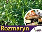 Rozmaryn 'Barbecue' (Rosmarinus) Odmiana Idealna Na Grilla Duża Sadzonka