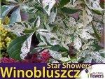 Winobluszcz pięciolistkowy STAR SHOWERS 'Monham' Sadzonka 60-90cm