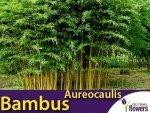 Żółty Bambus Drzewiasty Aureocaulis Mrozoodporny (Phyllostachys aureosulcata) Sadzonka