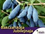 Jagoda Kamczacka Sadzonka - odmiana Bakczarskaja Jubilejnaja