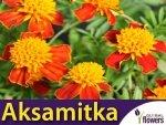 Aksamitka rozpierzchła, Orange Flame (Tagetes patula nana) 1g