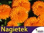 Nagietek lekarski, pomarańczowy (Calendula officinalis) 3g, nasiona