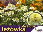 Jeżówka MENRIGUE (Echinacea) Sadzonka C1