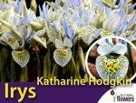 Irys Katharine Hodgkin (Iris histrioides Katharine Hodgkin) CEBULKI