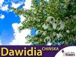 Dawidia Chińska -Piękne drzewko chusteczkowe (Davidia involucrata vilmoriniana)  Sadzonka