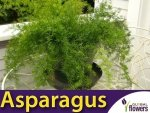 Asparagus ozdobny (Asparagus sprengerii) 0,5g