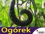 Wężowy Ogórek Gruntowy Sałatkowy Chinese Slangen (Cucumis sativus) 5g