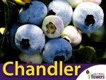 Borówka Amerykańska Sadzonka 3 - 4 letnia- odmiana Chandler