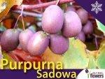 Aktinidia ostrolistna Sadzonka Kiwi Purpurna Sadowa - odmiana żeńska