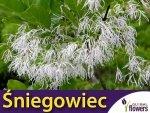 RARYTAS Śniegowiec wirginijski - śnieżne drzewo (Chionanthus virginicus) Sadzonka XL-C5