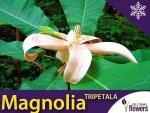 Magnolia Parasolowata Sadzonka - (Magnolia tripetala)