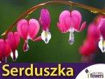 Serduszka okazałe różowe (Dicentra spectabilis) Duża Sadzonka