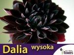 Dalia dekoracyjna wysoka Czarny Charakter (Dahlia x cultorum) CEBULKA