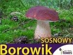 Grzybnia Borowik Sosnowy Boletus pinophilus ziarno 10g