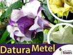 Bieluń Surmikwiat (Datura Metel) Datura o pełnych kwiatach