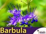 Barbula Klandoa 'Dark knight' (Caryopteris clandonensis) Sadzonka