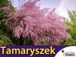 Tamaryszek Drobnokwiatowy (Tamarix parviflora) Sadzonka