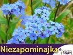 Niezapominajka alpejska niebieska (Myosotis alpestris) 0,30 g Nasiona