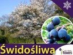 Świdośliwa olcholistna 'Mandam' (Amelanchier alnifolia) Sadzonka
