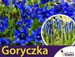 Goryczka, mieszanka (Gentiana sp.) 0,02g Nasiona