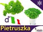 Pietruszka naciowa Gigante d' Italia (Petroselinum crispum)
