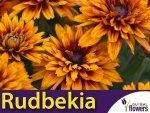 Rudbekia dwubarwna Cherokee Sunset, mieszanka (Rudbeckia hirta) 1g LUX