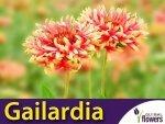 Gailardia nadobna (Gailardia pulchella) mieszanka 0,5g