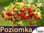 Poziomka Regina (Fragaria vesca) duże owoce 0,1g