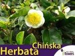 Herbata chińska (Camellia sinesis) nasiona
