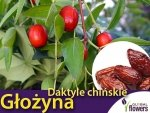 Głożyna pospolita (Ziziphus jujuba) zdrowe daktyle chińskie Sadzonka