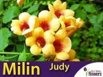 Milin Amerykański Morelowy Judy (Campsis radicans) Sadzonka 60-90cm