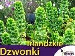Dzwonki Irlandzkie (Molucella Laevalis) nasiona 0,5g