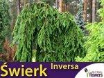 Świerk pospolity płaczący 'Inversa' (Picea abies) sadzonka szczepiona