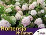 Hortensja Bukietowa PHANTOM (Hydrangea paniculata)  Sadzonka C2