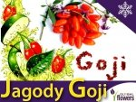 Jagody Goji Witalne jagody (Lycuim chinensis) Sadzonka C1