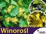 Winorośl pachnąca (Vitis riparia) Sadzonka