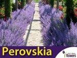 Perovskia 'Little Spire' (Perovskia atriplicifolia) Sadzonka