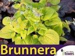 Brunera Diane's Gold (Brunnera) Sadzonka