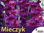 Mieczyk wielokwiatowy (Gladiolus) Velvet Eyes CEBULKA 5 szt