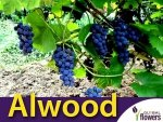 Winorośl Alwood Sadzonka - odmiana deserowa Vitis 'Alwood'