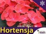 Hortensja ogrodowa czerwona 'Leuchtfeuer' (Hydrangea macrophylla) Sadzonka