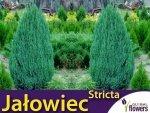 Jałowiec chiński 'Stricta' (Juniperus chinensis) Sadzonka