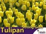 Tulipan Triumph 'Strong Gold' (Tulipa) CEBULKI